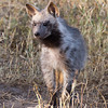 Striped Hyena Cub.