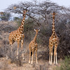 Reticulated Giraffes Family.  Square Format.