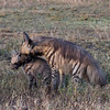 Striped Hyena Mother and Cub.
