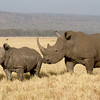 White Rhino Mother and Calf in profile. Lake Nakuru, Kenya.