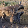 Play with Me! Striped Hyena Mother and Cub.