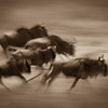 On the Move. Wildebeests in Kenya.