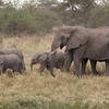 Elephant Calves with Aunt,  Serengeti National Park, Tanzania.