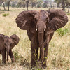 Two Young Elephants, Tarangire National Park.  Tanzania, East Africa.