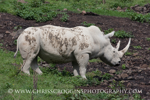 Endangered White Rhino. Lake Nakuru, Kenya.
