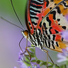 The Lacewing Butterfly is slurping nectar from the flower.
