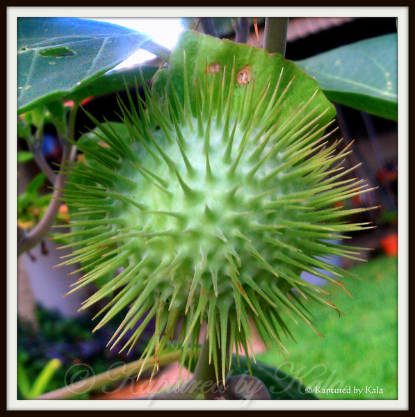 Moonflower Seedpod