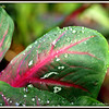 After the Rain Shower   Caladium