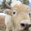 Nosy White Bison Calf