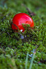 For more information on fly agaric or fly amanita (Amanita muscaria) please check Wikipedia.