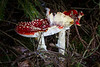 "For more information on fly agaric or fly amanita (Amanita muscaria) please check <a class=""url"" href=""http://en.wikipedia.org/wiki/Amanita_muscaria"" target=""_blank"">Wikipedia</a>."