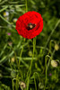 "For more information on the field poppy  (Papaver rhoeas) please check <a class=""url"" href=""http://en.wikipedia.org/wiki/Papaver_rhoeas"" target=""_blank"">Wikipedia</a>."