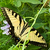 Eastern Tiger Swallowtail<br /> Georgia's Official State Butterfly<br /> Montgomery County