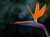 "Bird Of Paradise<br /> ""Strelitzia reginae"""