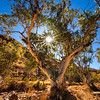 © Douglas Remington - Ethereal Light Photography, LLC. All Rights Reserved. Do not copy or download.  The bee tree. Ghost gum eucalyptus and sunstar, Redbank gorge, Australia.