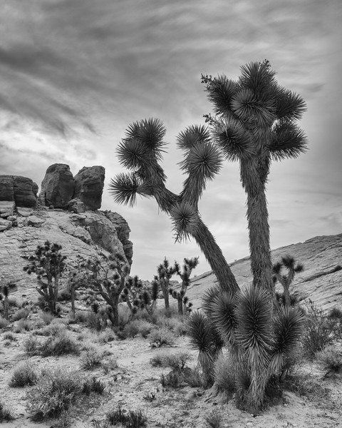 Joshua trees (Yucca brevifolia). Taken in the Gold Butte area of Nevada, USA.