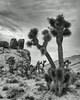 """Joshua Trees in Gold Butte""<br /> <br /> Joshua trees (Yucca brevifolia). Taken in the Gold Butte area of Nevada, USA."