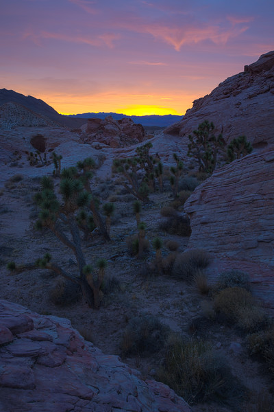Joshua trees (Yucca brevifolia) at sunset. Taken in the Gold Butte area of Nevada, USA.