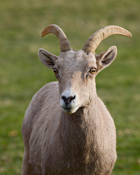 A desert bighorn sheep (Ovis canadensis nelsoni) ewe (female). Taken in Hemenway Park, Boulder City, Nevada, USA.