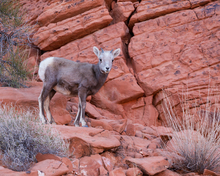 A desert bighorn sheep (Ovis canadensis nelsoni) yearling. Taken in Valley of Fire State Park, Nevada, USA.