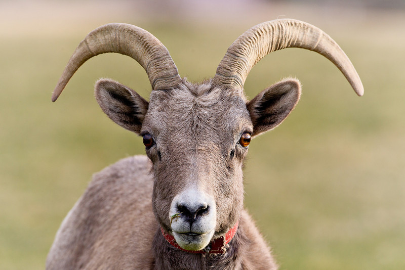 A collared desert bighorn sheep (Ovis canadensis nelsoni). This is a young ram. Taken in Hemenway Park, Boulder City, Nevada, USA.