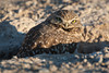 A burrowing owl (Athene cunicularia). Taken in Las Vegas, Nevada, USA.