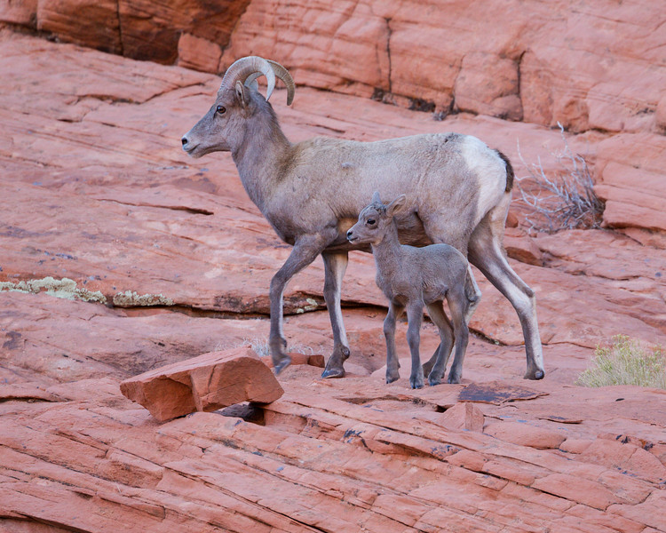 """Tiny and Not-So-Tiny""<br /> <br /> A desert bighorn sheep (Ovis canadensis nelsoni) lamb and young ram. It sure was a treat to see them making their way across a very high expanse of red rock. Taken in Valley of Fire State Park, Nevada, USA."