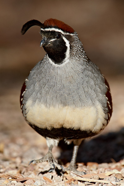 A male Gambel's quail (Callipepla gambelii). Taken in Las Vegas, Nevada, USA.