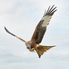 Red Kite, Brecon Beacons