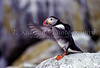 The Atlantic Puffin and Machias Seal Island, New Brunswick, Canada.