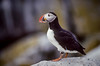 The Atlantic puffin on Macias Seal Island, New Brunswick, Canada.