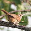 carolina-wren-july23-1