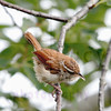 carolina-wren-july23-4