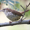 carolina-wren-july22-2-2