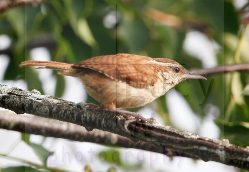 carolina-wren-july23-2