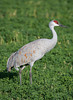 A sandhill crane (Grus canadensis). Taken at Bosque del Apache National Wildlife Refuge, New Mexico, USA.
