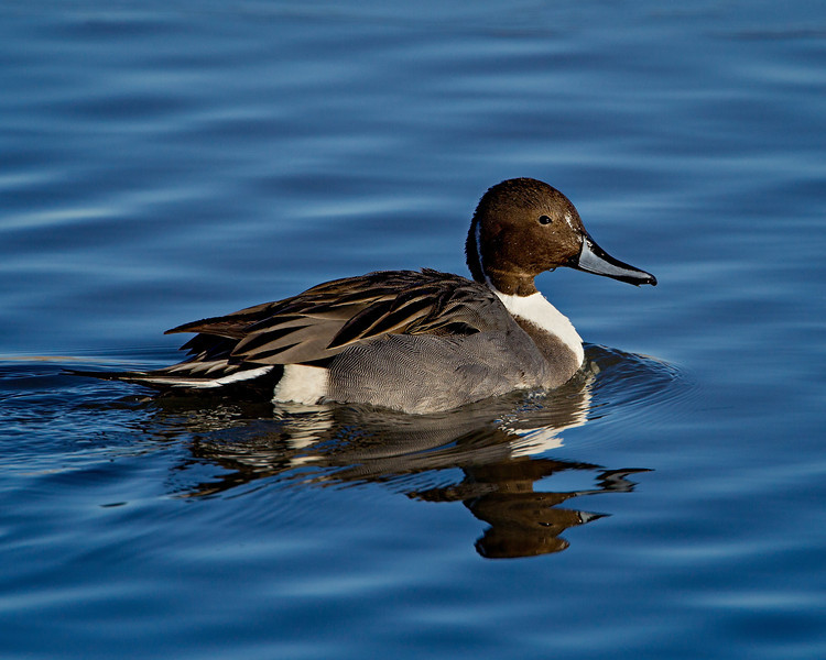 Male northern pintail (Anas acuta). Taken at Bosque del Apache National Wildlife Refuge, New Mexico, USA.