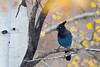 A Steller's jay (Cyanocitta stelleri) perches in an aspen tree (Populus tremuloides). Taken in Coyote Creek State Park, New Mexico, USA.