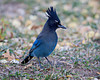 A Steller's jay (Cyanocitta stelleri). Taken in Coyote Creek State Park, New Mexico, USA.