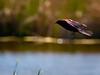 Red-Winged Blackbird Aeronautics