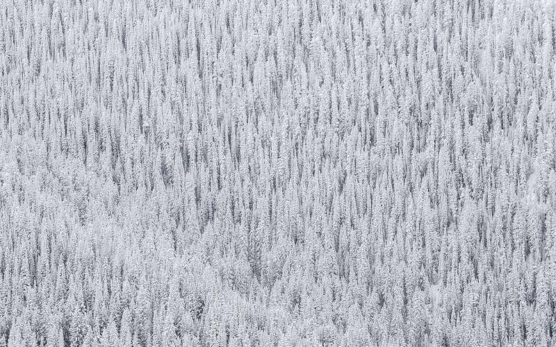 Snowy Trees, Aspen, CO