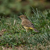 Palm Warbler, Central Park