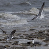 Laughing Gulls and Horseshoe Crabs, Cooks Beach