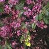 Crab Apple Blossoms in Spring