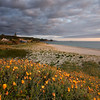 Spring flowers on the dunes at Whiritoa Beach, Coromandel, sunrise