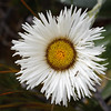 One of the 60 species of mountain daisy that can be found on the South Island
