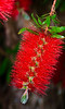 Bottlebrush in bloom on a bright spring afternoon in Auckland