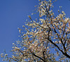 Cherry blossoms on a bright spring morning in Auckland