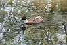 Unkown species of duck, one of the many aquatic fowls inhabiting Western Springs in Auckland