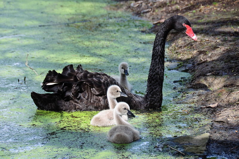 Mama swan and her cygnets at Western Springs in Auckland